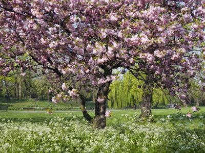 А на самом деле когда цветут яблони?