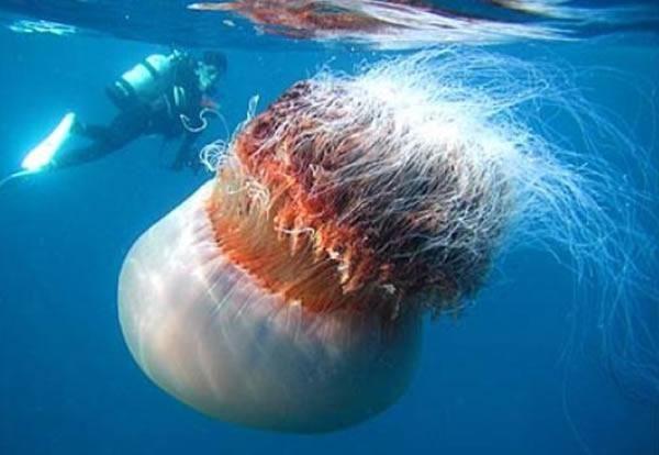 Арктическая цианея - самая большая медуза на земле