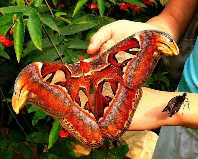Atlas - самая большая бабочка в мире