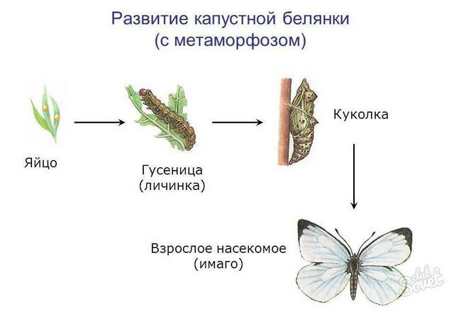 Бабочка капустная белянка, как избавиться