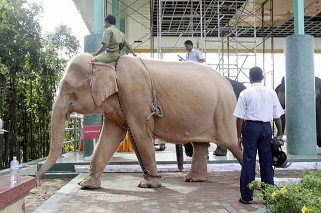 білі слони фото