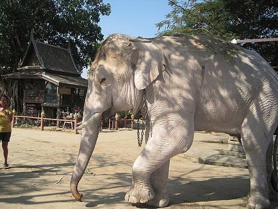 білі слони в росії