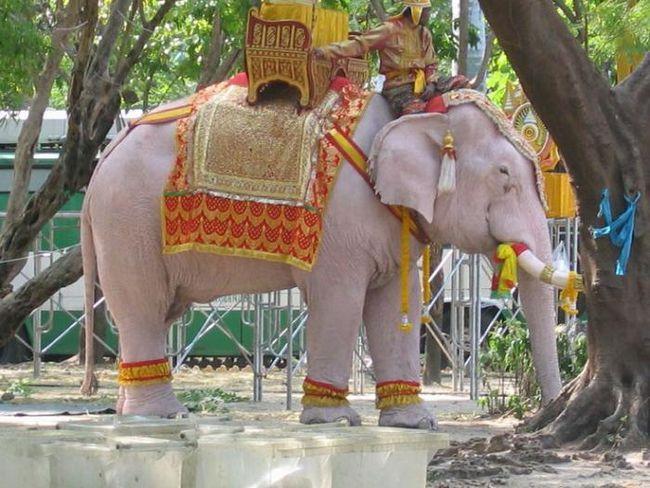 білі слони в Таїланді