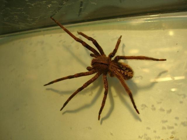 Бразильский странствующий паук – самый ядовитый паук в мире