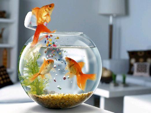 Чем кормить рыбок?