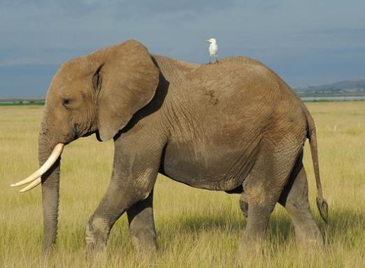 Чим відрізняється африканський слон від індійського слона?