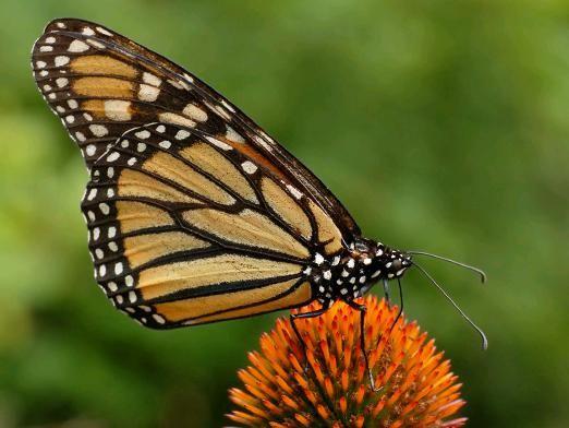 Чем питаются бабочки?
