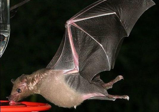 Чим харчуються кажани?