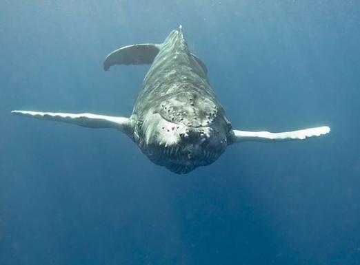 Что едят киты?