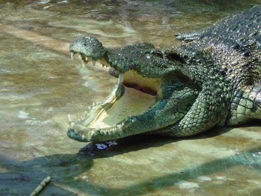 Що їдять крокодили?