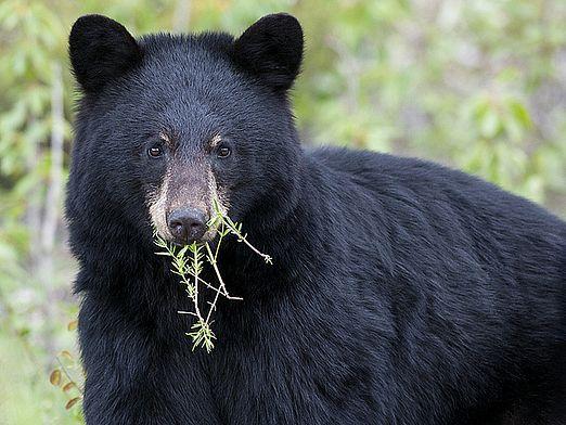 Что едят медведи?