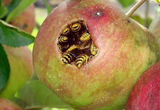 Что едят осы?