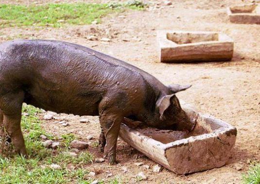 Что едят свиньи?