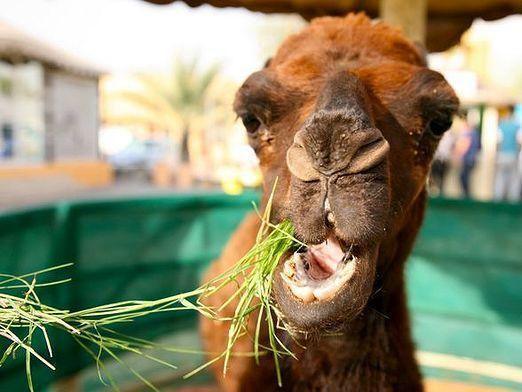 Що їсть верблюд?