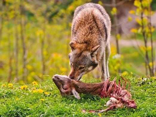 Що їсть вовк?