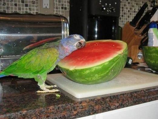 Що любить папуга?