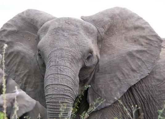 Что может остановить слона?