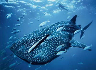 Давайте разберемся в том, какая самая большая акула на земле
