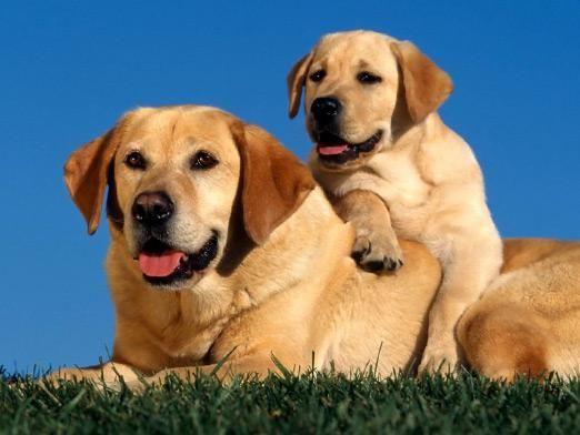 До какого возраста растут собаки?