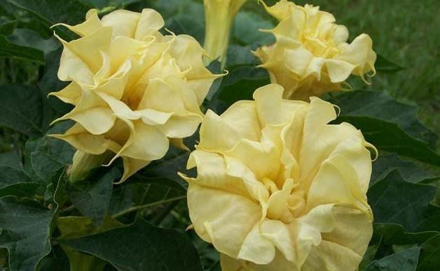 Дурман - цветок красивый и ядовитый