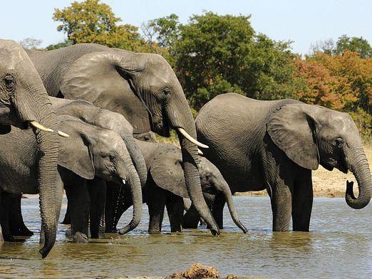 Едят ли слонов?