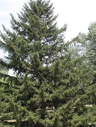 Ель обыкновенная образует лесные массивы северного полушария