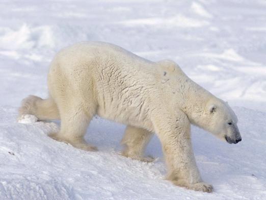 Где живут белые медведи?