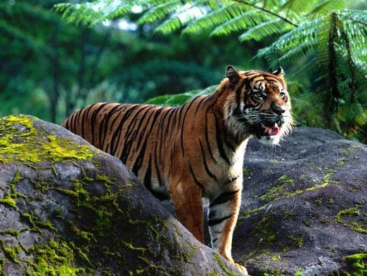Де живуть тигри?