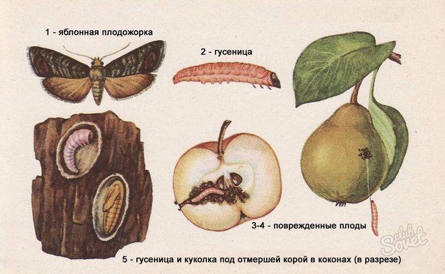 Яблоневая плодожорка, как бороться