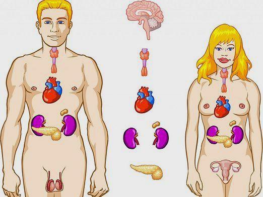 Эндокринная система - что это такое?
