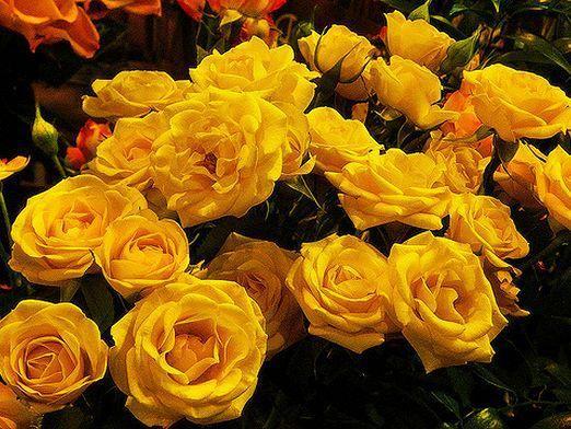 К чему дарят желтые розы?