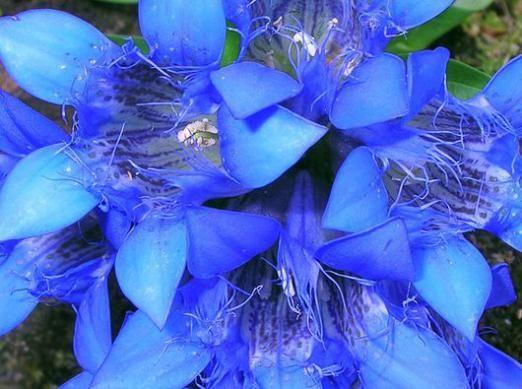 До чого сняться сині квіти?