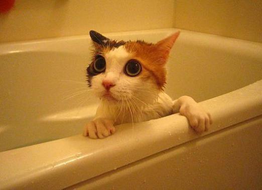 Как часто мыть кошку?