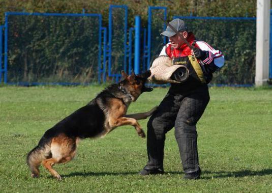 Как дрессировать собаку?