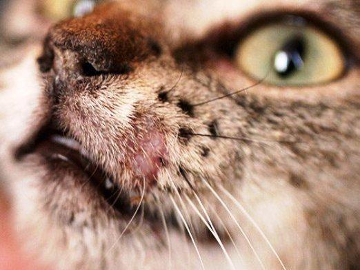 Как лечить лишаи у кошек?