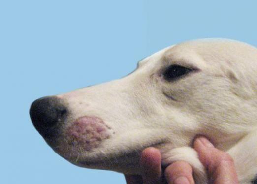 Как лечить лишай у собаки?