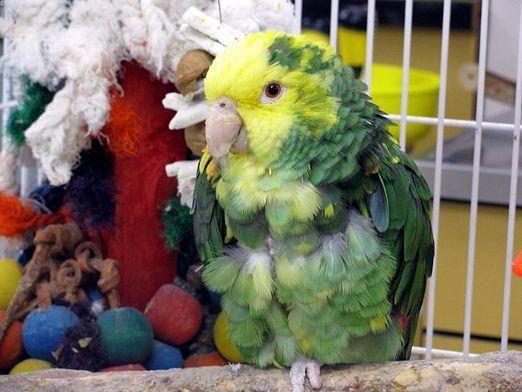 Как лечить попугая?