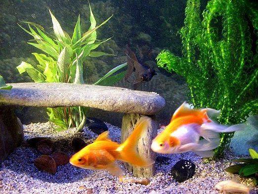 Как лечить рыб?