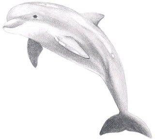 Как нарисовать дельфина – развиваемся весело