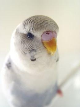 як навчити папуг розмовляти