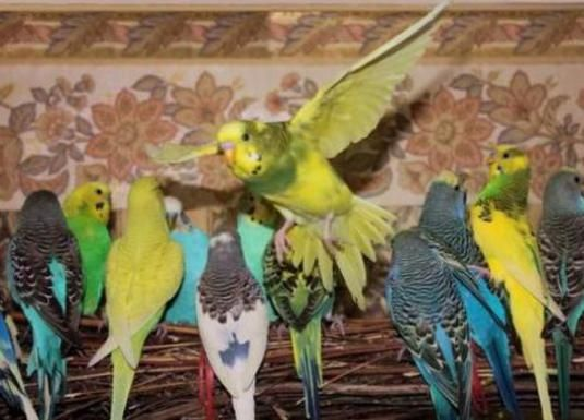 Как научить разговаривать волнистого попугая?