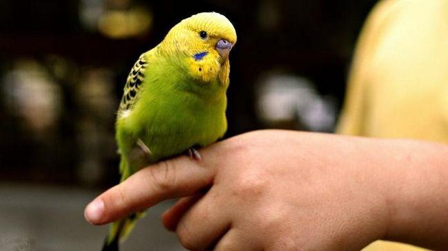 як навчити хвилястого папугу говорити