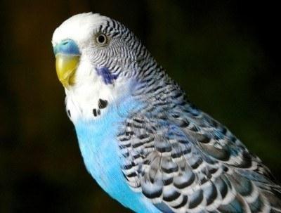 хвилясті папужки розмовляють