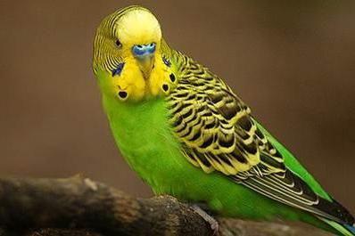 розмовляють чи хвилясті папуги