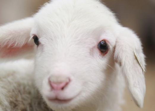 Как назвать козу?