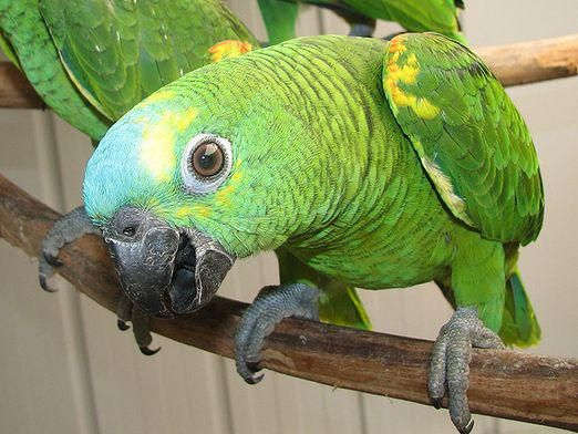 Как назвать попугая-мальчика?