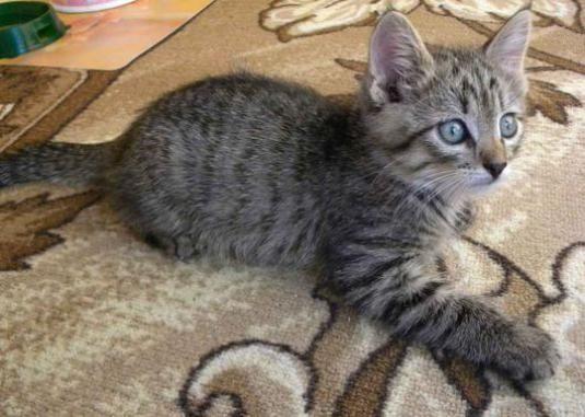 Как назвать серого котенка мальчика?
