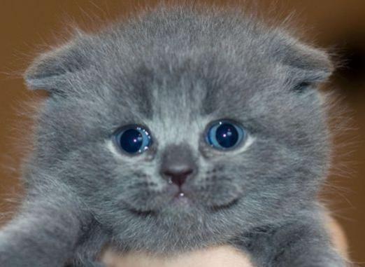 Как назвать вислоухого котенка?