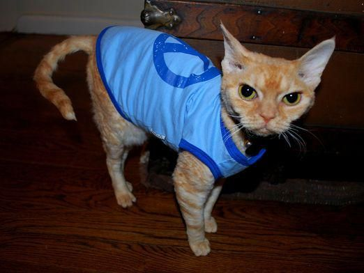 Как одеть кошку?