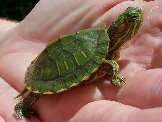 Як визначити вік черепахи?